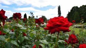 Danske roser fra den botaniske have.